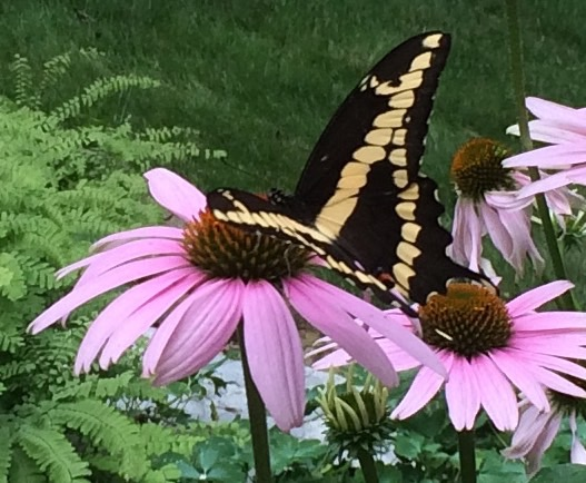 Giant Swallowtail Butterfy